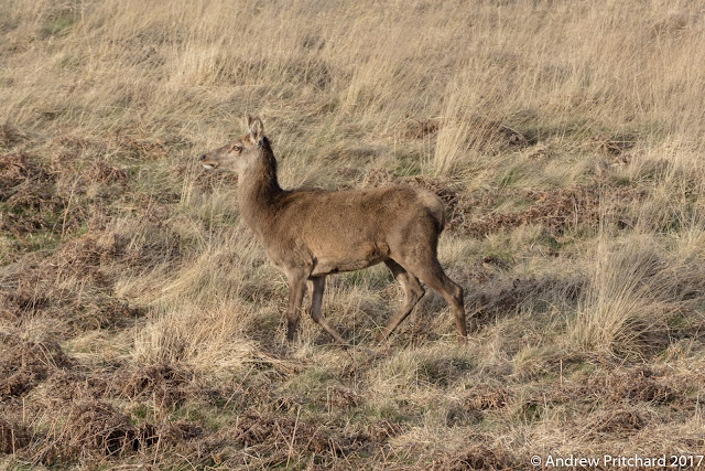 A hind walks through yellow grass and bracken looking for new grazing furthe along the moor.
