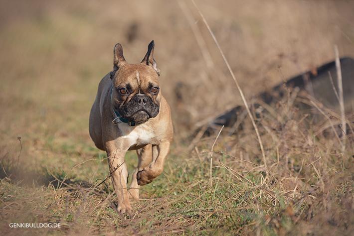 Hundeblog Französische Bulldogge