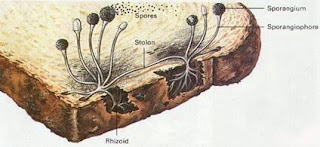 Ciri Ciri Jamur Zygomycota, Roti Berjamur Aman dimakan ?, Bahaya Roti Berjamur.