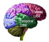 frontal lobe functioning and its relationship to cognition brewery