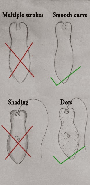 The Biologs Drawing Rules For Biological Drawings