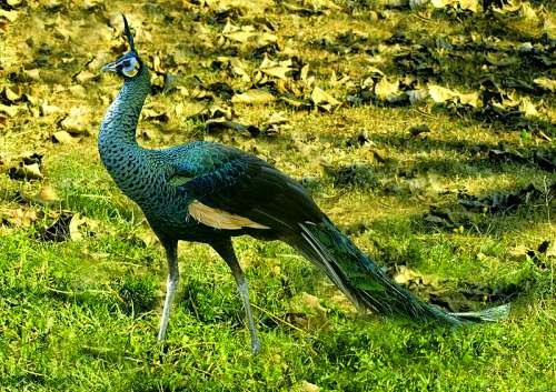 Indian birds - Green peafowl - Pavo muticus
