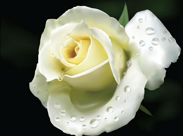 bó hoa hồng trắng đẹp nhất 2017 4