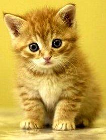 Imagen de un gato pequeño - Animal doméstico