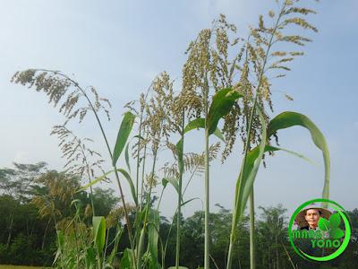 Protein Sorgum unggul dibanding beras, singkong dan jagung