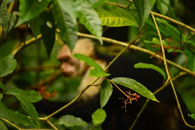 Chasing Monkeys in Tortuguero National Park, Costa Rica