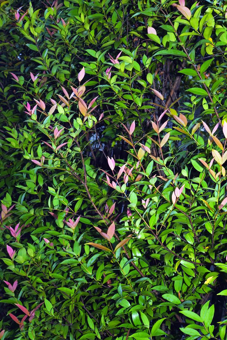 福星花園: 長紅木