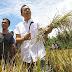 Sihar Ikut Panen Padi, Petani: Kita Berharap Sihar Jadi Pemimpin Sumut