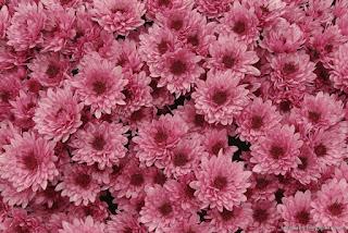 http://fotobabij.blogspot.com/2015/04/chryzantema-pandora-chrysanthemum_14.html