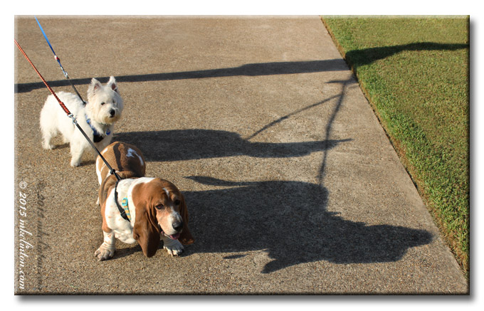 Westie and basset with their shadows