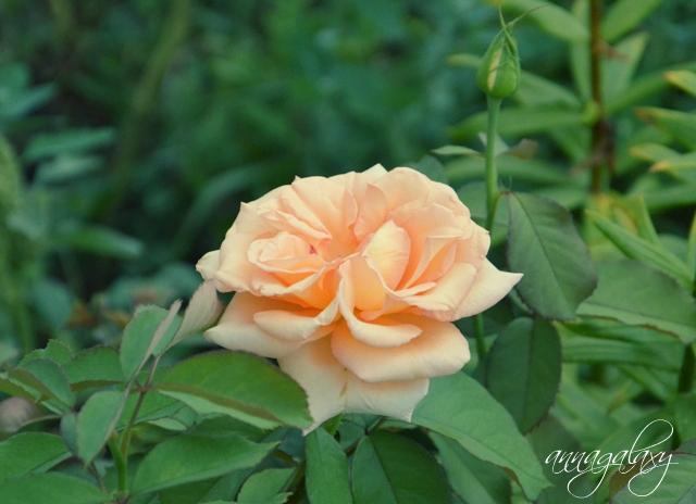 Розы прекрасные цветы