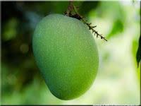 gambar buah mangga, bahasa arab mangga