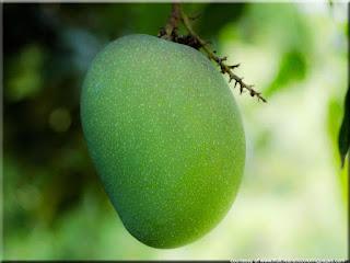 Mango (Mangifera indica) fruit photos
