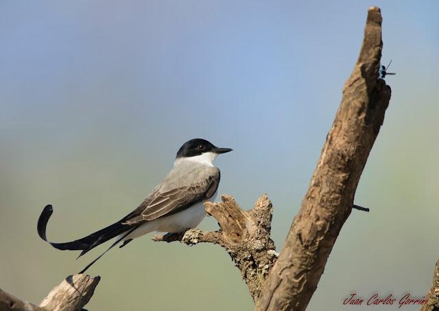 Avistaje de aves en Argentina, Salta. Birdwatching y fotografía de Juan Carlos Gorrini.