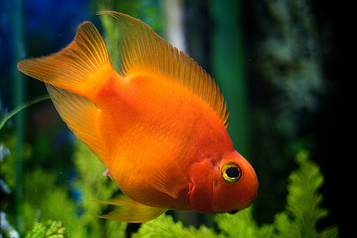 Ikan Hias Red Parrot , Blood Parrot Cichlid