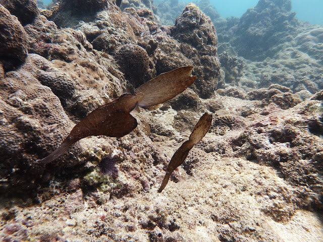 photo of two seagrass ghost pipefishes, diving Hat Nai Yang