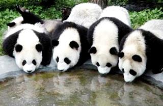 Foto de osos panda bebiendo en una fuente