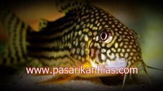 Ikan hias Corydoras