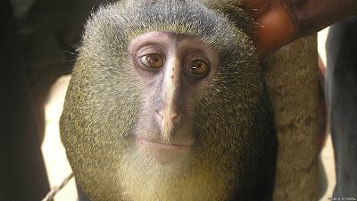 شاهد : عشرة أنواع جديدة من الكائنات الحية 130524114338_lesula_