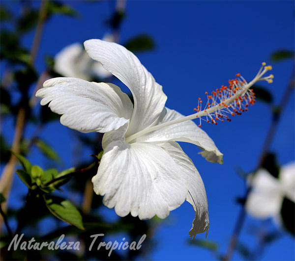 Flor blanca de Hibiscus sp, Hibisco.