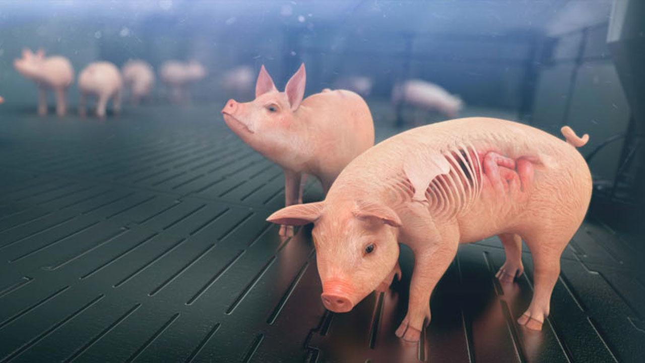 pig-poigglets-anatomy-anatomia-leitao-imagem-3d-porcos