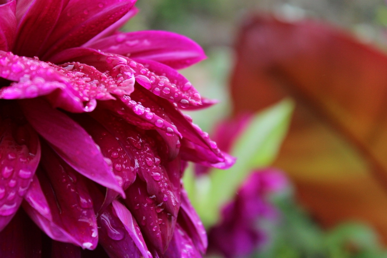 Water droplets on flower petal