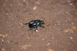 Ein schwarzer, gepanzerter Käfer auf braunem Boden