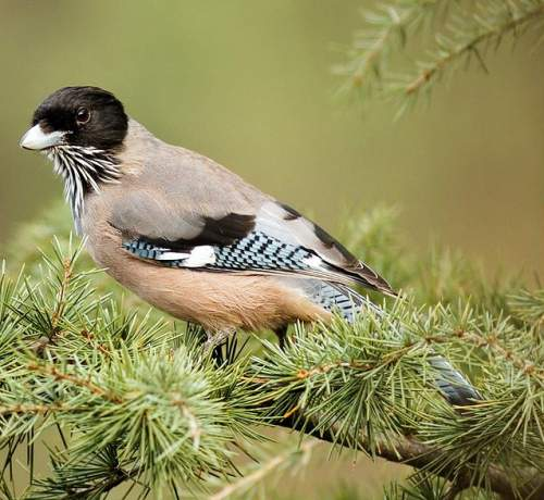 Indian birds - Image of Black-headed jay - Garrulus lanceolatus