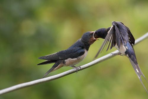 adulto de andoriña alimentando a un polo sobre un cable