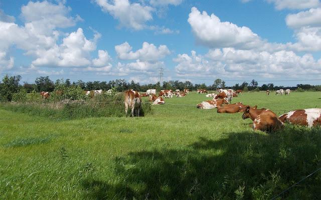 Roodbonte Friese koeien in het weiland