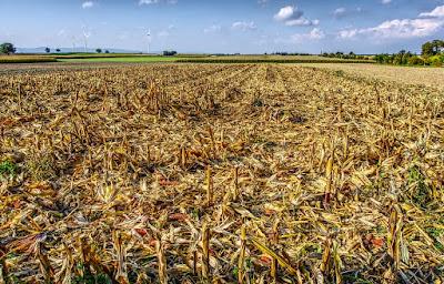 limbah pertanian jagung