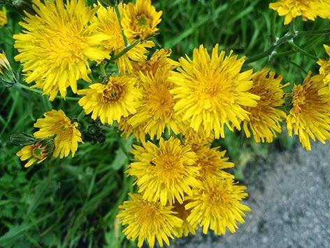 Crepis (Crepis vesicaria) flor amarilla