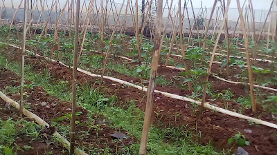Simple Drip Irrigation System by Citro Mduro
