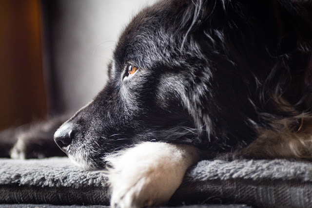 Reward-based training protects older dogs - like this Border collie - from declines in attention