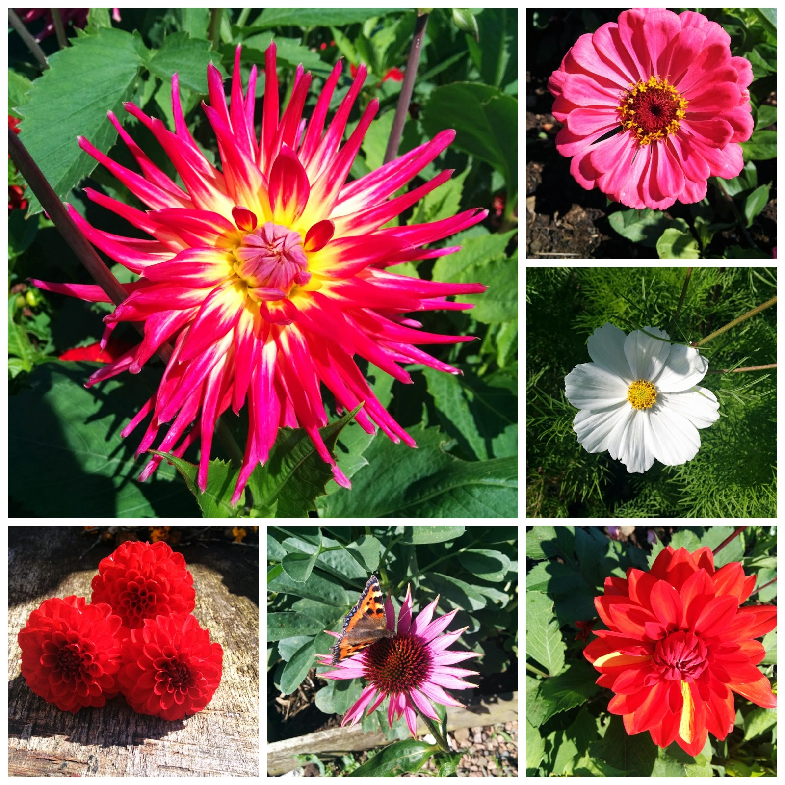 selection of some of the flowers on the plots today - 'growourown.blosgspot.com' ~ an allotment blog