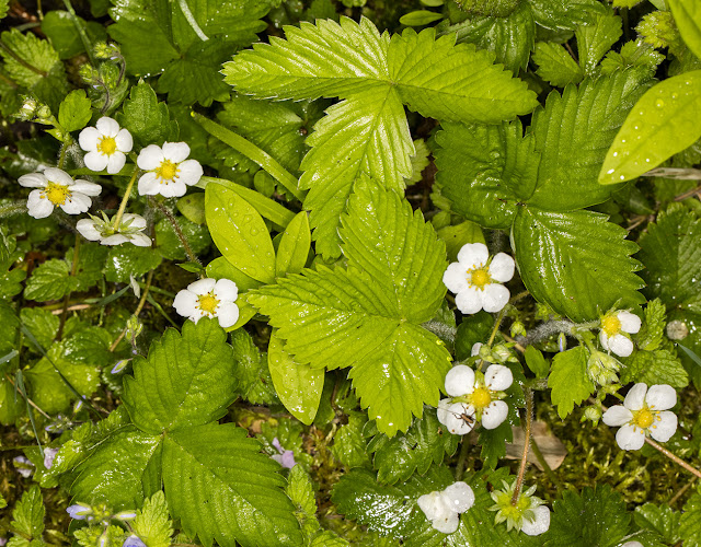 Wild Strawberry, Fragaria vesca.  Hutchinson's Bank, 24 May 2016.