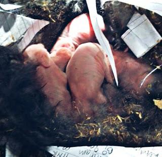 Cara Merawat Bayi Kelinci Yang Tidak Disusui Induknya atau Tanpa Induk