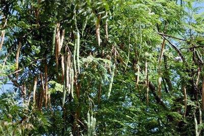 شجرة المورينجا مراحل زراعة المورينجا
