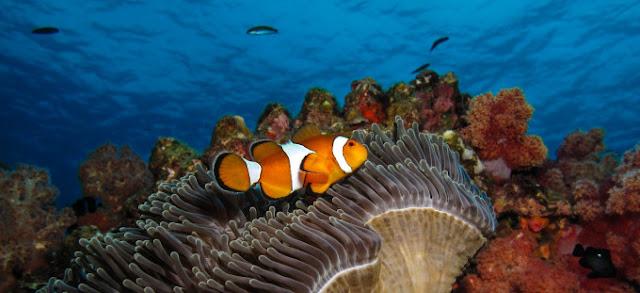 Peixe Palhaço Impacto Ambiental