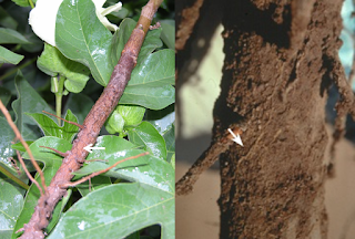 A composite photo of fungal strands on roots; the photo on the left shows a strand on a cotton root and the photo on the right shows a strand on a pecan root.
