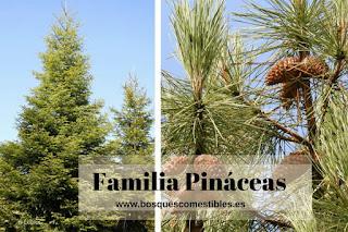 Familia Pinaceas