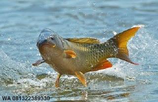 Essen Ikan Mas | Master Essen