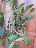 Hasil gambar untuk akar benalu