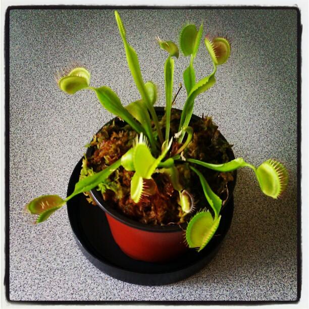 plante carnivore rona