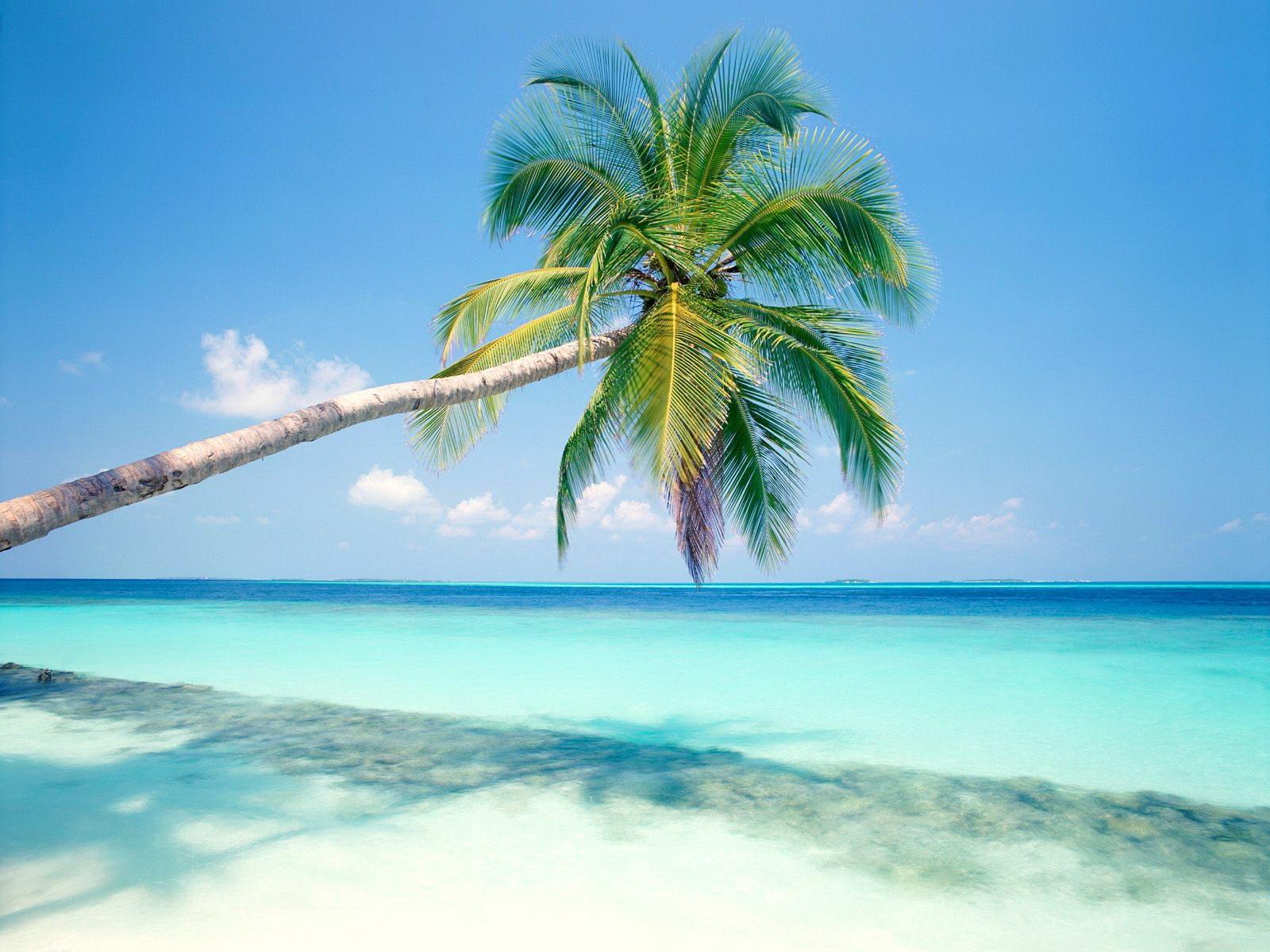 Hình nền cây dừa nằm nghiêng đổ bóng xuống biển