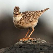 Cara Membedakan Burung Branjangan Jantan Denga Betina