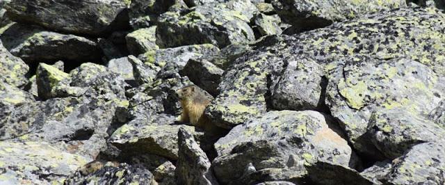 Marmotte dans un pierrier