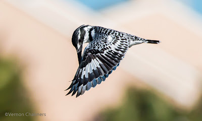 Pied Kingfisher in Flight  Woodbridge Island, Cape Town (Canon EOS 70D / 400mm)