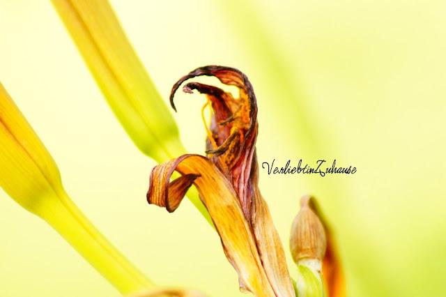 Taglilie -Originalbild vorher unbearbeitet