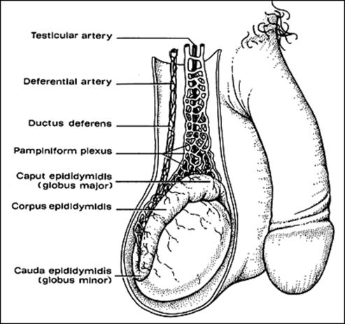 Standard Note: Male reproductive system